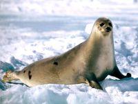 Гренландский тюлень (Phoca groenlandica)