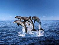 Большие дельфины (Tursiops truncatus),
