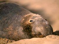 Северный морской слон (Mirounga angustirostris)