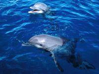 Дельфины-афалины,