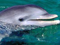 Дельфин (афалина)