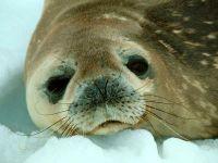 Обыкновенный тюлень (Phoca vitulin)