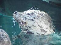 Тевяк, или серый тюлень (Halichoerus grypus)