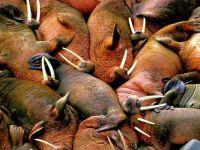 Моржи (Odobaenus rosmarus)