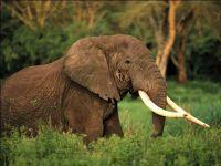 Саванный слон (Loxodonta africana)