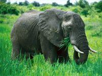 Африканский слоненок ест траву