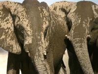 Слоны, искупавшиеся в грязи
