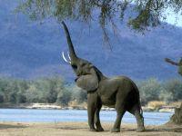 Слон, пытающийся достать хоботом ветку дерева