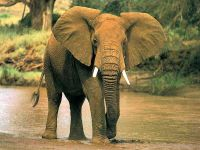 Слон идущий по воде