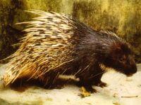 Индийский дикобраз (Hystrix indica)