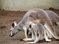 Кенгуру с кенгуренком