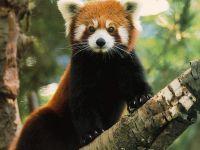 Красная панда, фото